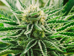 Cannabis (53).png