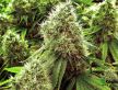 Cannabis (31).png