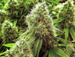 Cannabis (12).png