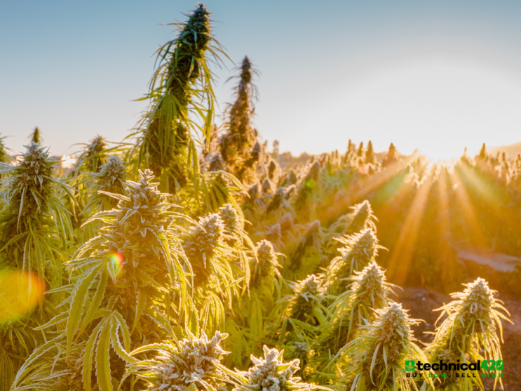 3 Ways To Play The Hemp/CBD Boom In The United States - Technical420